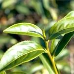 Ефірна олія чайного дерева