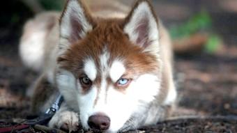Хаскі: собака, яка не гавкає