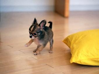 Маленькі породи собак - дивовижні милі створіння