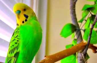 Чи можна навчити говорити будь-якого папуги?