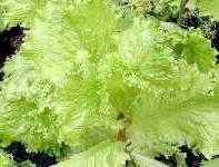 листовий салат
