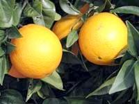 Скільки калорій в одному апельсині